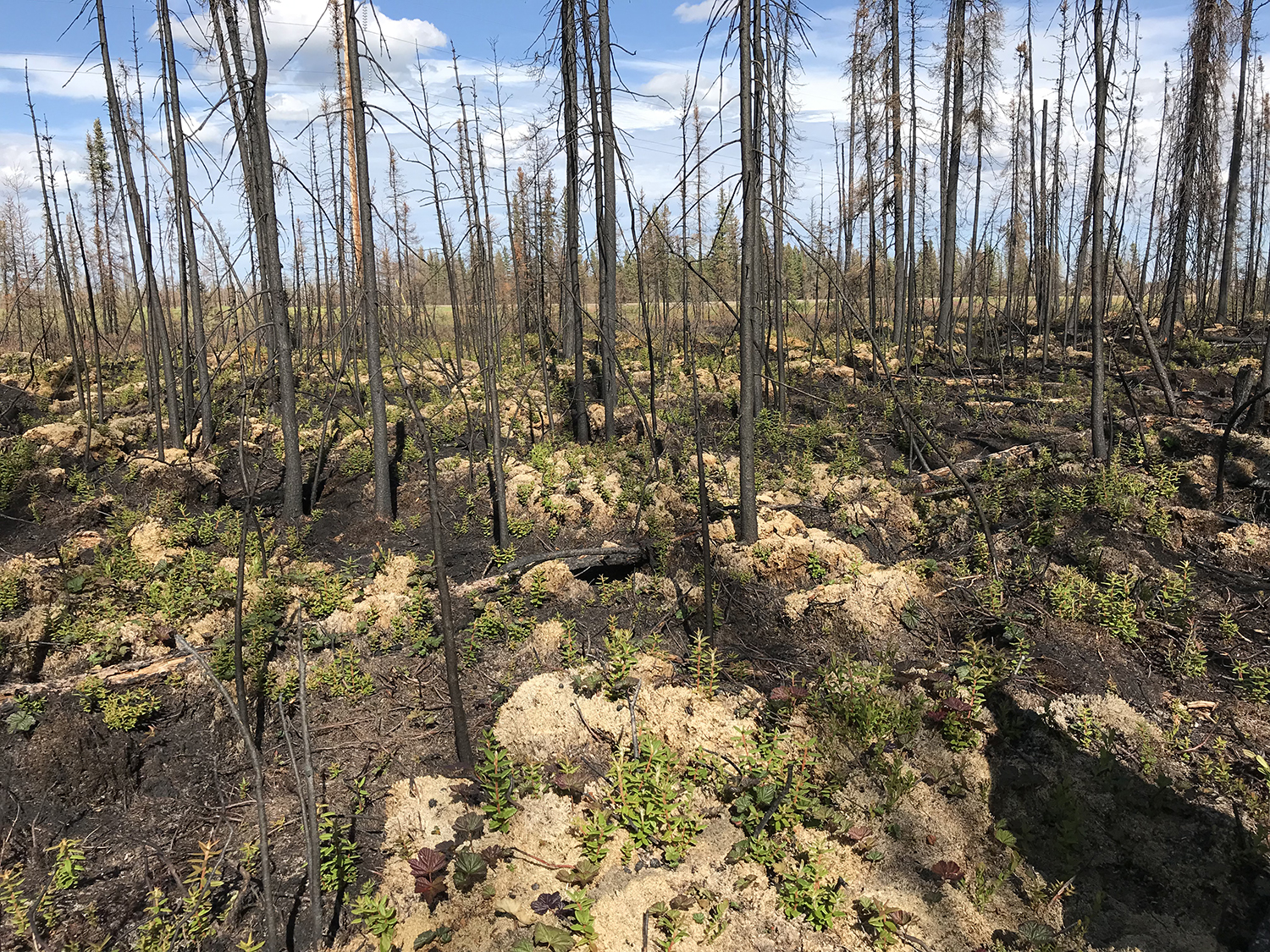 Peatland post forest fire.